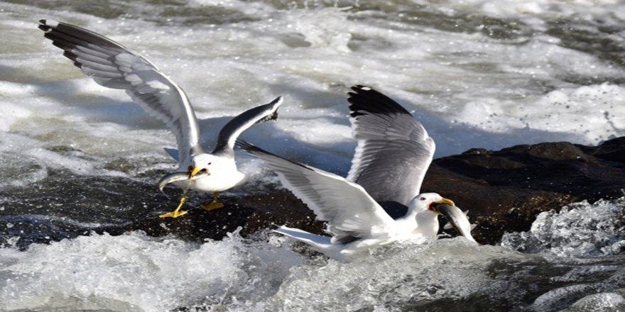 Martıların balık avı görsel şölen sunuyor