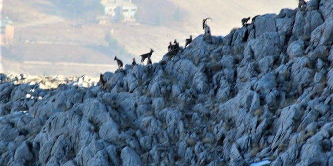 Kahramanmaraş'ta yaban keçilerine foto kapanlı takip