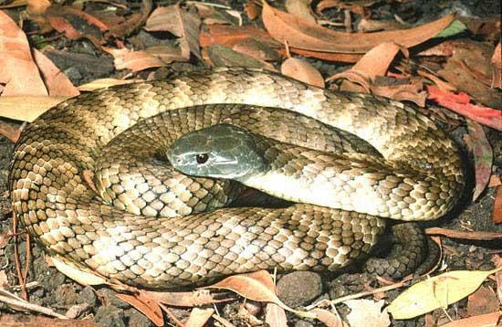 İşte dünyadaki en zehirli 10 yılan türü 3