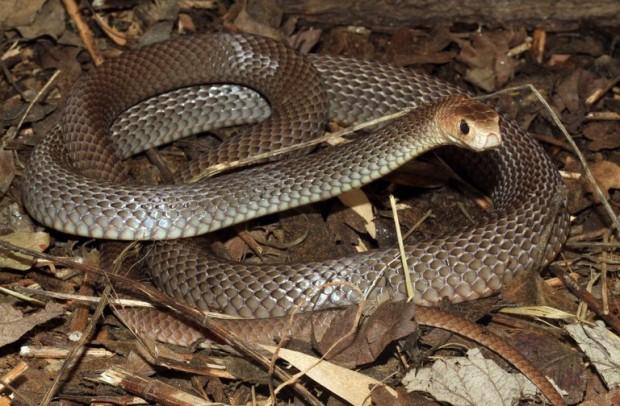 İşte dünyadaki en zehirli 10 yılan türü 5