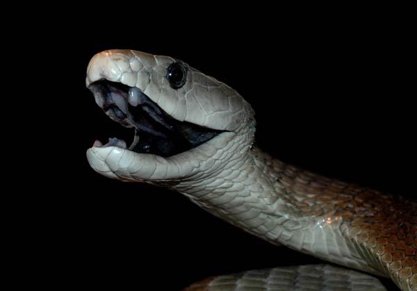İşte dünyadaki en zehirli 10 yılan türü 6
