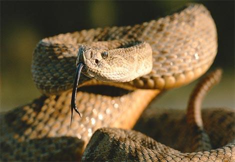 İşte dünyadaki en zehirli 10 yılan türü 9