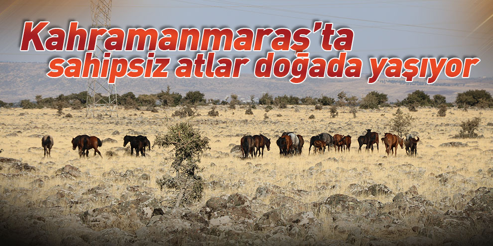 Kahramanmaraş'ta sahipsiz atlar doğada yaşıyor