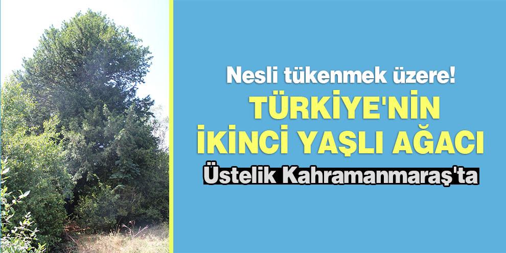 Nesli tükenmek üzere! Türkiye'nin ikinci yaşlı ağacı üstelik Kahramanmaraş'ta