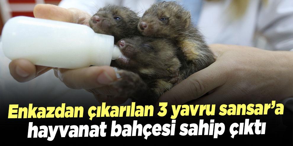 Enkazdan çıkarılan 3 yavru sansar'a hayvanat bahçesi sahip çıktı