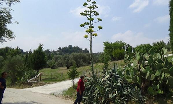 Bu bitki 100 yıl yaşıyor, sadece bir kez çiçek açıyor
