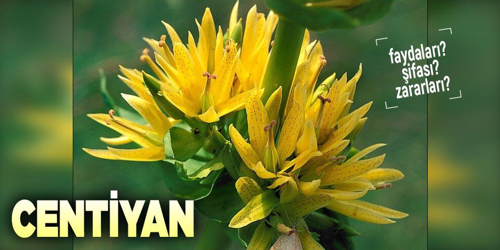 Şifalı bitkilerden Centiyan, Centiyan nedir