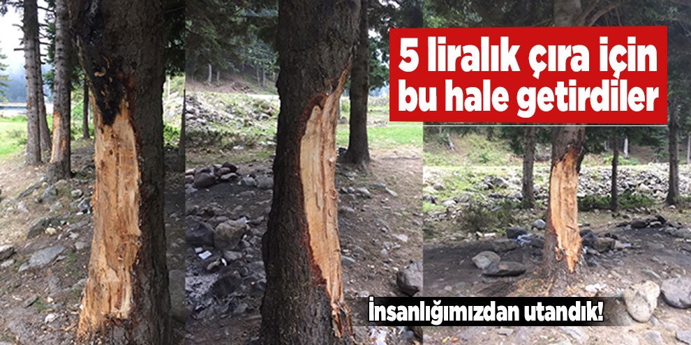 5 liralık çıra için 70 yıllık ağaçlara böyle zarar verdiler