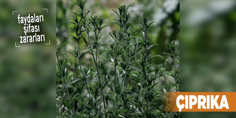 Şifalı bitkilerden Çıprıka, Çıprıka nedir