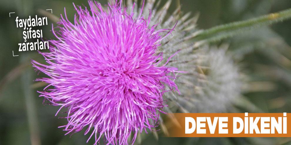 Şifalı bitkilerden Deve dikeni, Deve dikeni nedir