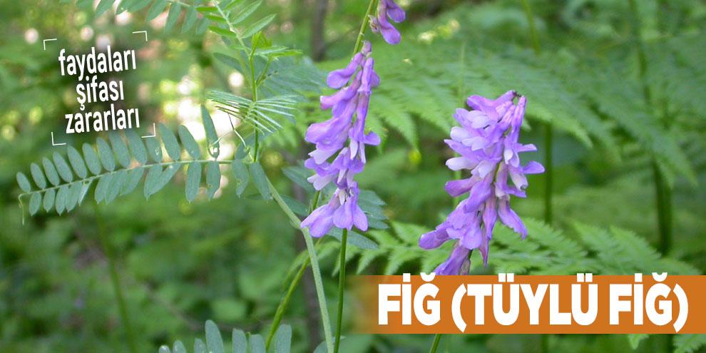 Şifalı bitkilerden Fiğ, Fiğ nedir