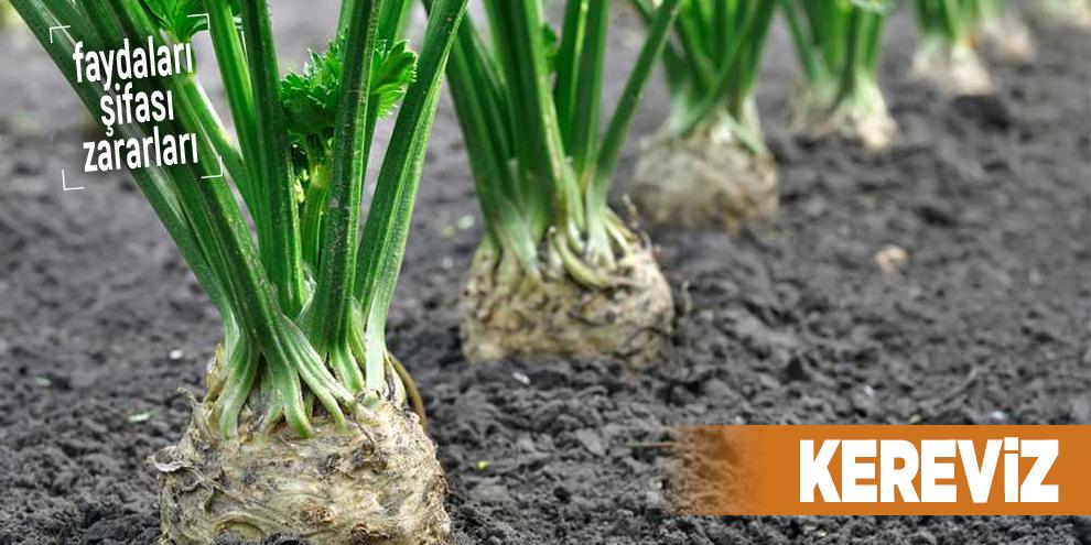 Şifalı bitkilerden Kereviz, Kereviz nedir?
