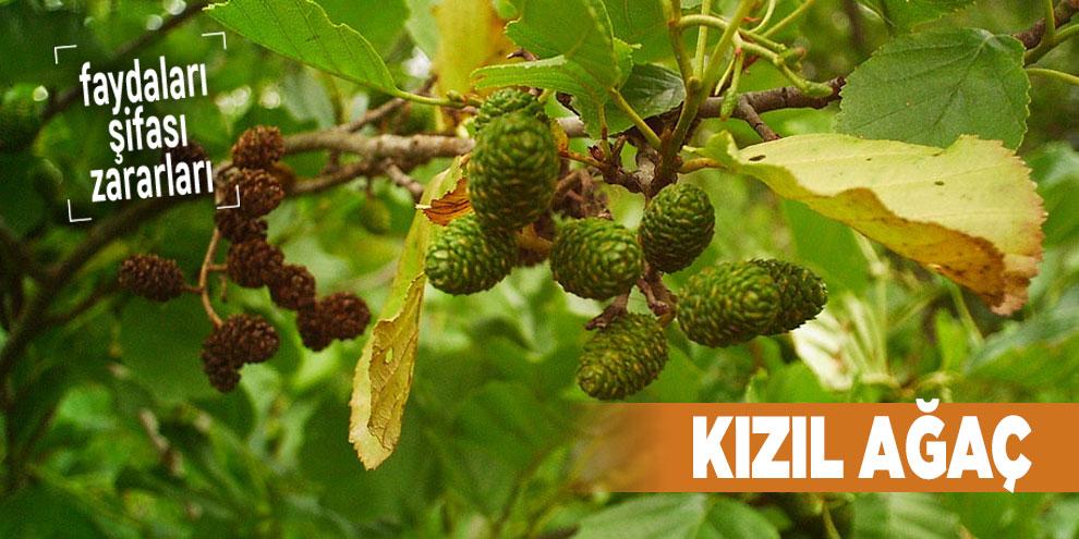 Şifalı bitkilerden Kızıl Ağaç, Kızıl Ağaç nedir?