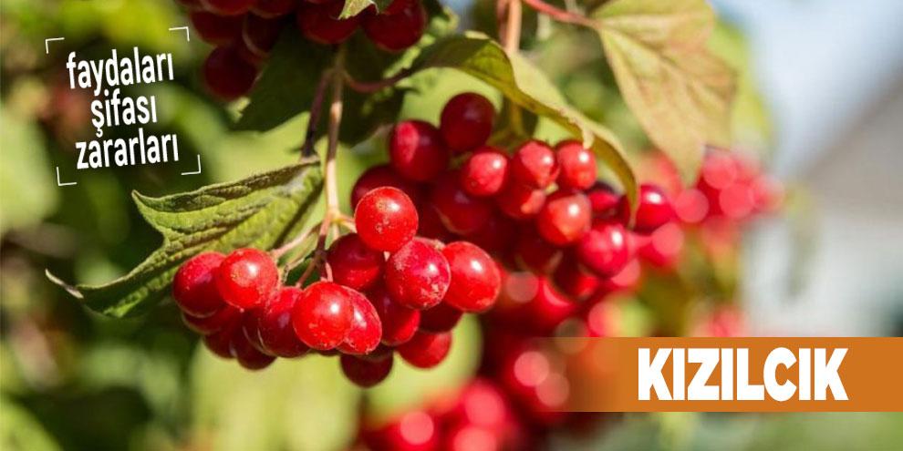 Şifalı bitkilerden Kızılcık, Kızılcık nedir?