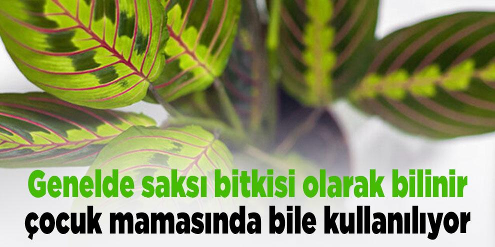 Genelde saksı bitkisi olarak bilinir, çocuk mamasında bile kullanılıyor
