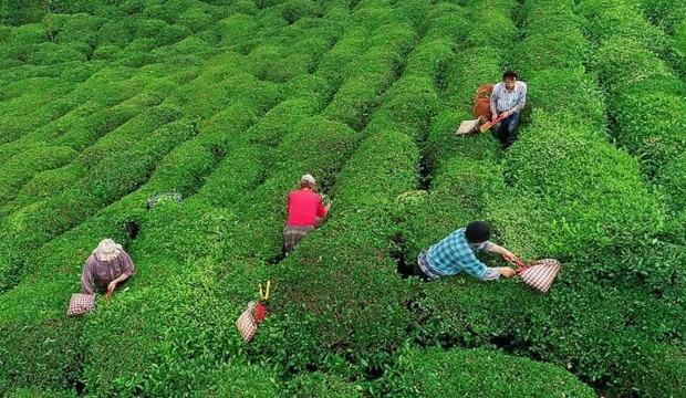 Yaş çay için kilogram başına 13 kuruş fark ödenecek