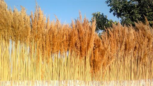 Şifalı bitkilerden Saz-Kamış, Saz-Kamış nedir?