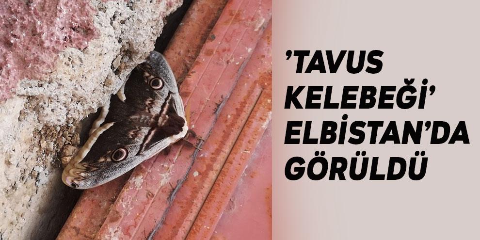 'Tavus kelebeği' Elbistan'da görüldü