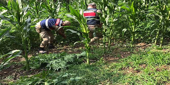 Kahramanmaraş'ta mısır tarlasında uyuşturucu operasyonu!