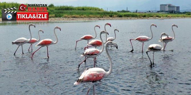 İzmit Körfezi'nde flamingoların etkileyici dansı