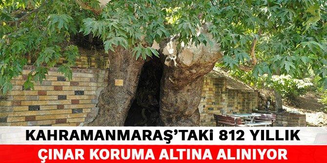 Kahramanmaraş'taki 812 yıllık çınar koruma altına alınıyor