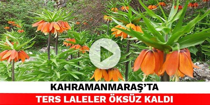 Kahramanmaraş'ta ters laleler öksüz kaldı