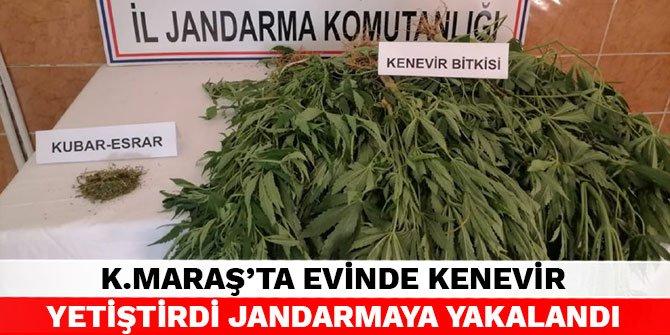 Kahramanmaraş'ta evinde kenevir yetiştirdi jandarmaya yakalandı