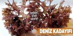 Şifalı bitkilerden Deniz kadayıfı, Deniz kadayıfı nedir