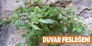 Şifalı bitkilerden Duvar fesleğeni, Duvar fesleğeni nedir