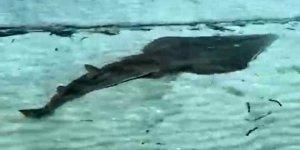 2 metreye yakın kemane balığı Çeşme'de görüntülendi
