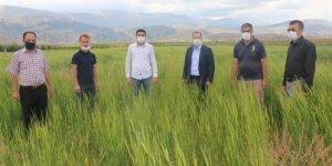 Ekinözü'nde, on bin yıllık siyez buğdayı ilk kez ekildi