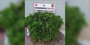 Kahramanmaraş'ta evlerinin bahçesinde uyuşturucu yetiştirdiler