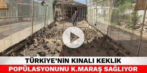 Türkiye'nin kınalı keklik popülasyonunu Kahramanmaraş sağlıyor