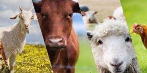 Hayvancılık yatırımı yapana % 50 hibe desteği