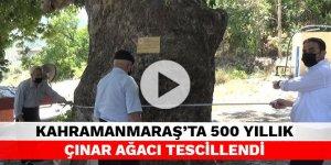 Kahramanmaraş'ta 400 yıllık çınar ağacı tescillendi