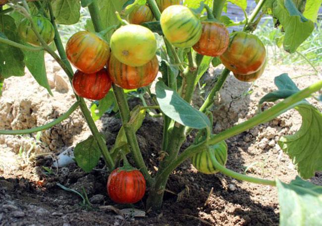 domates-gorunumlu-patlican,-gorenleri-sasirtti1.jpg