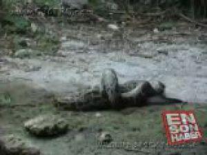Piton timsahı diri diri yuttu